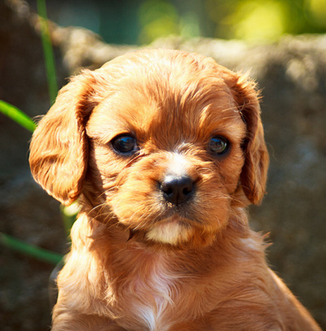 Beautiful dog pictures of a Cavalier King puppy.PNG