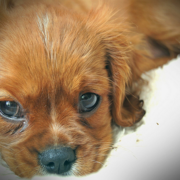 Close up picture of Cavalier King pup.PNG