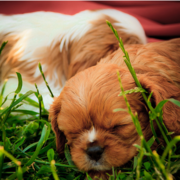 Cute Cavalier King breeders pictures.PNG