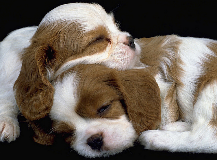 Cute puppies pictures of Cavalier King Charles Spaniel dogs.PNG