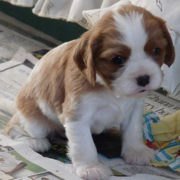 Young puppy picture of a Cavalier King dog.PNG