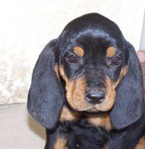 Cute puppy face picture of an American Coon Hound puppy in tan and black.PNG