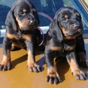 Coon Hound puppies picture.PNG