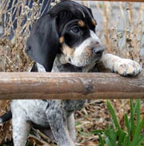 Bluestick Coonhound puppy posting for the camera looking so cute.PNG