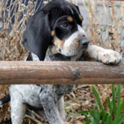 American Coonhound Puppies pictures