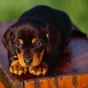 American Coonhound puppy pictures.PNG