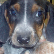 Bluestick Coon Hound puppy images.PNG