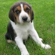 Coonhound puppy photo.PNG