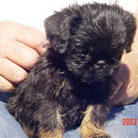 Brussel Griffon pup in black and tan spots