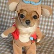 Little Gingerbread Chihuahua