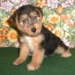 Brussel Griffon pup in black and tan