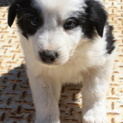Collie puppy image.PNG