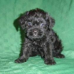 Black Brussel Griffon pup