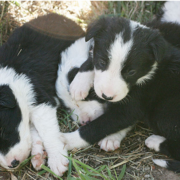 Border Collie puppies pictures.PNG