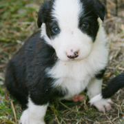 Border Collie puppy picture.PNG