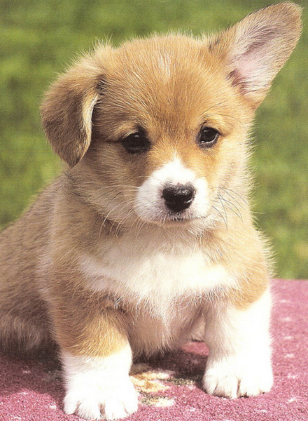 Pretty dog picture of a Corgi puppy photos.PNG