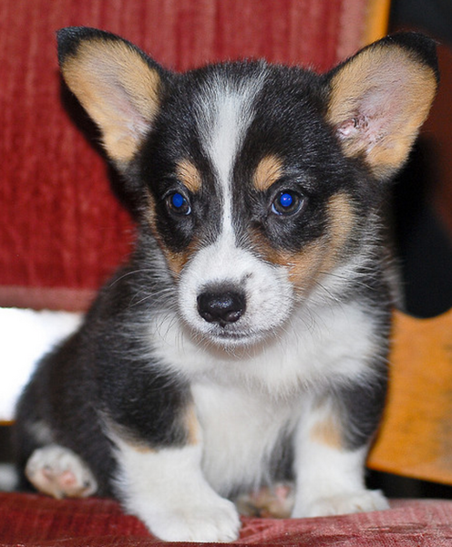 Three colored Corgi puppy in white black and tan.PNG