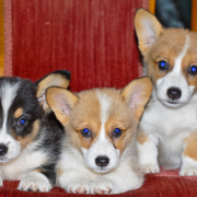Three Corgi dogs photos with blue eyes.PNG