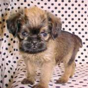 Brussel Griffon pup with cute ears