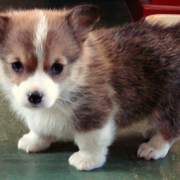 Corgi puppy photo.PNG