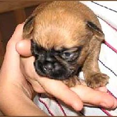 very young Brussel Griffon pup