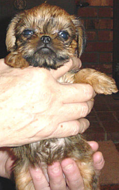 Brussel Griffon pup_ very young
