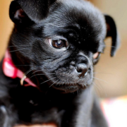 Black puppy pictures of chug dog.PNG