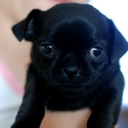 Black chug puppies picture.PNG