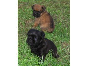 Brussel Griffon puppies in total black and the other in tan and black