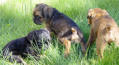 Brussel Griffon puppies