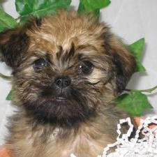 Brussel Griffon puppy in black and creamy tan color