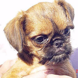 Brussel Griffon puppy in tan with black spots