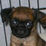 Brussel Griffon puppy picture