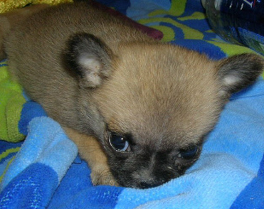Small dog picture of chug puppy in tan with black spots.PNG