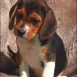 beagle puppy on the coatch.JPG