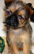 Brussel Griffon puppy with a naive face