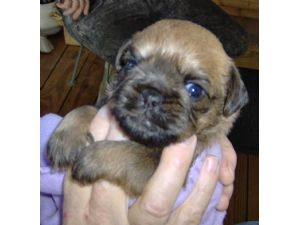 Brussel Griffon very young pup