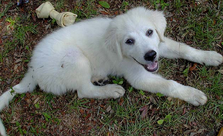 Pyrenees puppy images.PNG