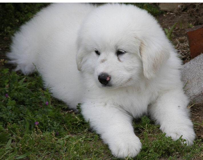 Photo of White Great Pyrenees Puppy