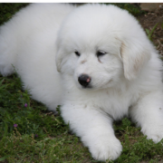 White Great Pyrenees Puppy picture.PNG