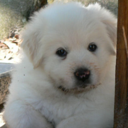 Furry Pyrenees puppy picture.PNG