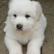 Great Pyrenees Pup picture.PNG