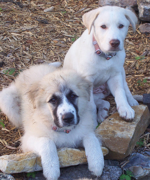 Pyrenees  puppies pictures.PNG