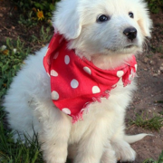 Pyrenees pup pictures.PNG