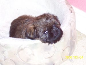 Brussel Griffon young pup