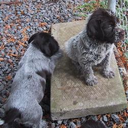 Brussel Griffon breeds_two puppies