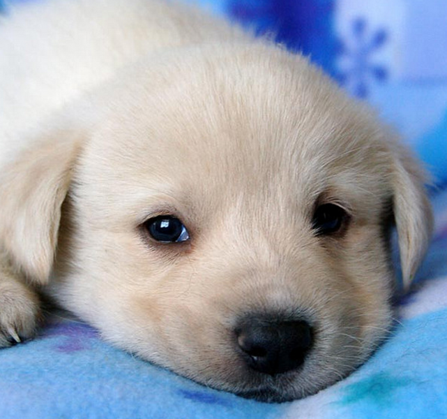 Cute puppy face pictures of Pyrenees dog making adorable face looking straight to the camera.PNG