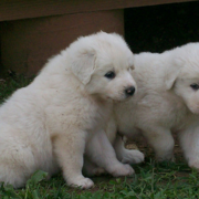 Pyrenees breeders pictures.PNG