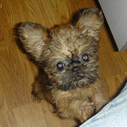 BrusselGriffon puppy