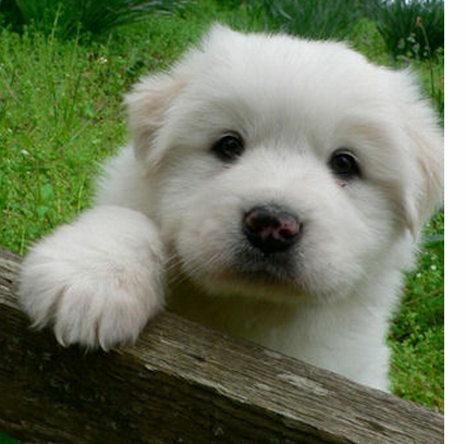 Cute puppy pictures of a young pyrenees puppy.PNG